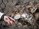 Beschnuppernde Wölfe