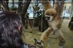 Lamore Lemur