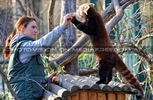Fütterung roter Pandas 15
