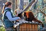 Fütterung roter Pandas 17
