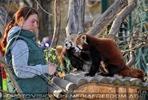 Fütterung roter Pandas 19