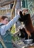 Fütterung roter Pandas 21