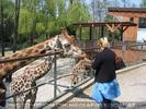 Giraffen füttern