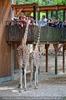 Giraffen Herde 9