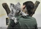 Koala gut aufgehoben