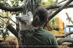 Koala vor Fütterung