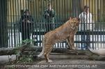Löwen bestaunen