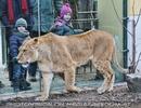 Löwin unter Beobachtung
