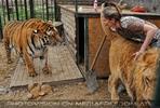 Mit Löwen und Tiger 03