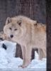 Polar Wölfe 14