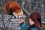 Rote Panda Fütterung 03