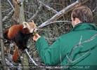Rote Panda Fütterung 04