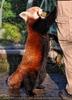 Rote Panda Fütterung 07