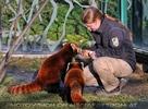 Rote Panda Fütterung 08