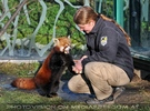 Rote Panda Fütterung 09