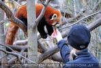 Rote Panda Fütterung 1