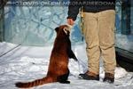 Rote Panda Mahlzeit 02