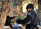 Rote Panda Mahlzeit 05