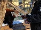 Rote Panda Mahlzeit 06