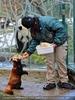 Roter Panda Fütterung 3