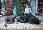 Schimpansen Anblick