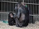 Schimpansen Familie 02