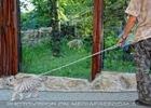 Weißer Tiger Nachwuchs 41 (Matej Piffl)