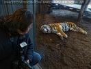 Sibirischer Tiger 14