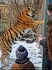 Sibirischer Tiger Winter 13