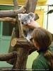 Koala Fütterung