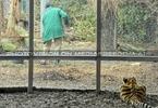 Tiger Pfleger