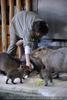 Wasserschweine 2