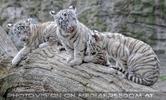Weiße Tiger 48