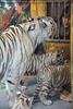 Weiße Tiger Kindergarten 52