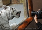 White Tiger Family 10