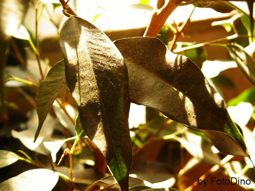 Ficus - Blatt