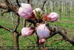 Marillenblüte 03