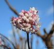 Baumblüte im Jänner