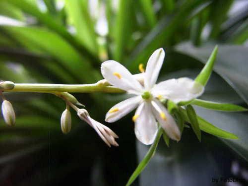 Grünlilien Blüte
