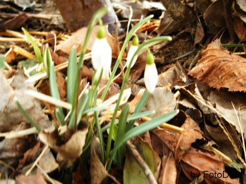 Der Frühling kommt! (Schneeglöckchen)
