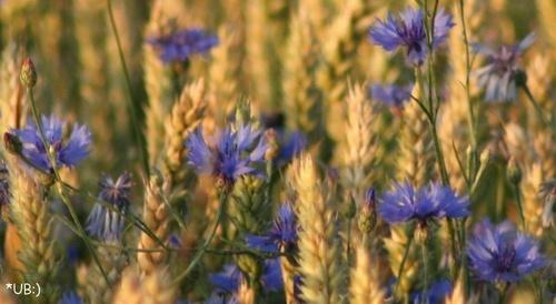 Blau...: Kornblumen
