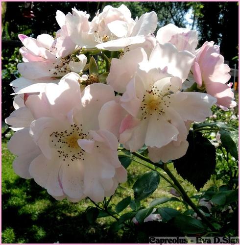 Blassrosa Blütenpracht: Rosen