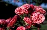Rosen - Symbol der Liebe