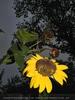 Letzte Sonnenblume