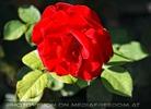 Markttreiben 16 - Rose