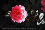 Markttreiben 18 - Rose