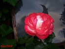 Aufgehende Rose