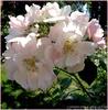 Blassrosa Blütenpracht