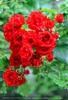 Roter Rosenstrauch