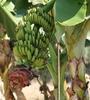Bananen in voller Pracht